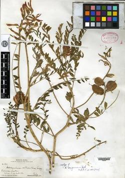 Image of Astragalus sanguineus