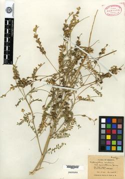 Astragalus scalaris image