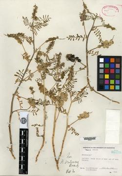 Image of Astragalus scutaneus
