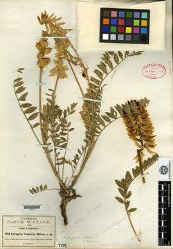 Astragalus yaquianus image