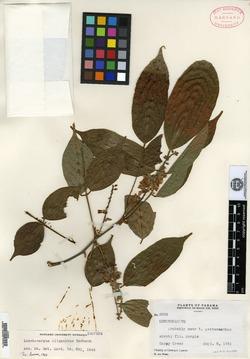 Lonchocarpus oliganthus image