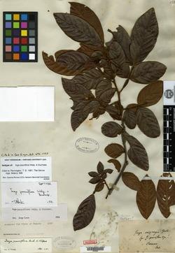 Inga pauciflora image