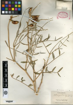 Image of Astragalus canonis