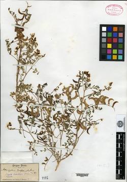 Image of Astragalus drepanolobus