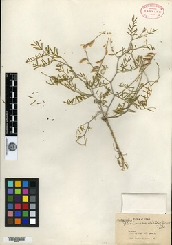 Image of Astragalus diehlii