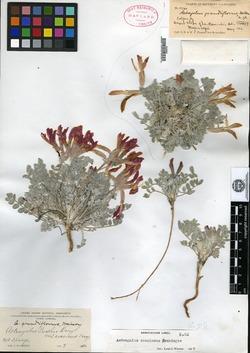 Image of Astragalus grandiflorus