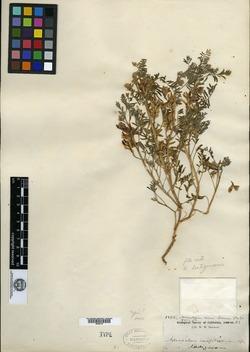 Image of Astragalus ineptus