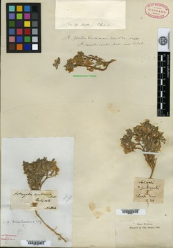 Image of Astragalus macropterus