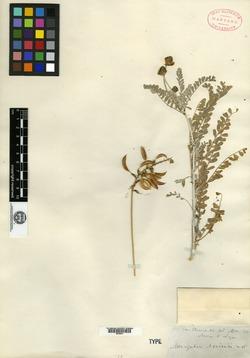 Image of Astragalus nevinii