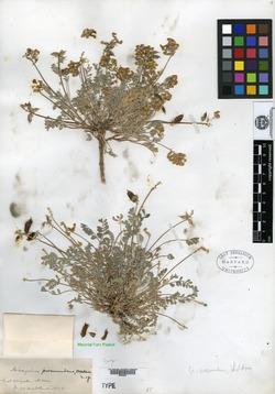 Image of Astragalus amatus