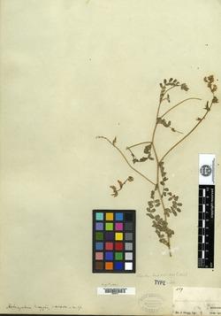 Image of Astragalus greggii