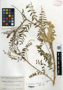 Image of Astragalus idrietorum