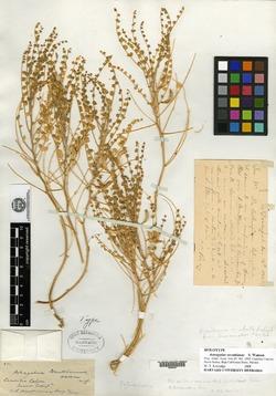 Image of Astragalus orcuttianus