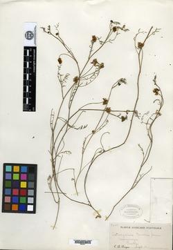 Image of Astragalus pueblae