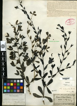 Image of Baptisia calycosa