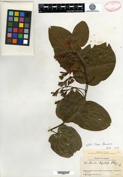 Image of Bauhinia picta