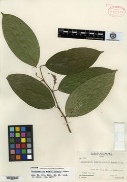 Lonchocarpus monofoliaris image