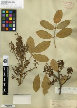 Lonchocarpus velutinus image