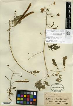Image of Anneslia delicata