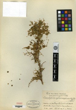 Image of Caesalpinia sphaerosperma