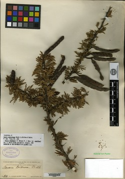 Image of Acacia subtortuosa