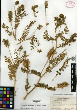 Image of Astragalus agnicidus