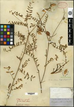 Image of Astragalus fallax