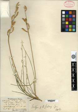 Image of Astragalus leibergii