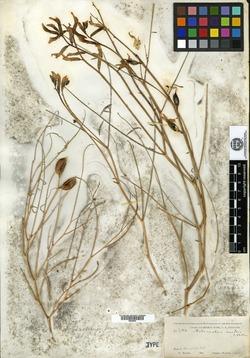 Image of Astragalus nudus