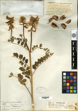 Image of Astragalus procerus