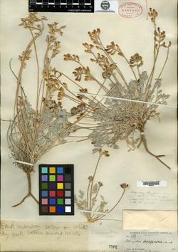 Image of Astragalus scaposus