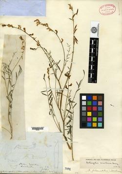 Image of Astragalus serotinus