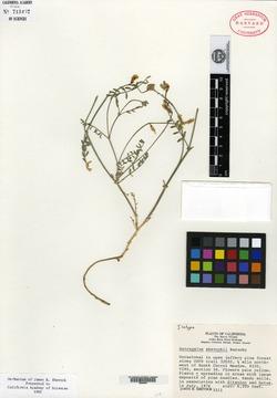 Image of Astragalus shevockii