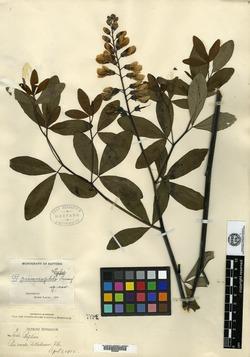 Image of Baptisia psammophila