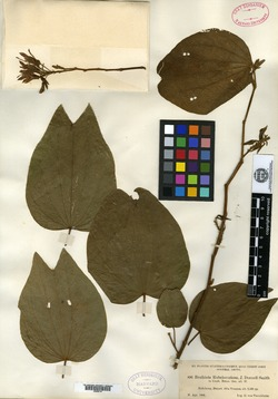 Image of Bauhinia rubeleruziana