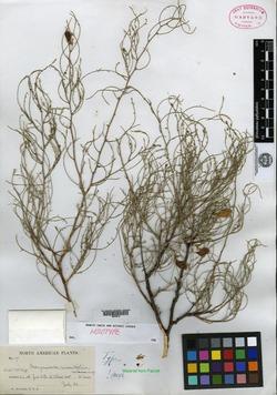 Brongniartia minutifolia image