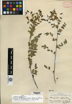 Image of Brongniartia diffusa