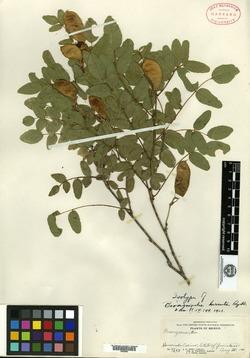 Image of Brongniartia hirsuta
