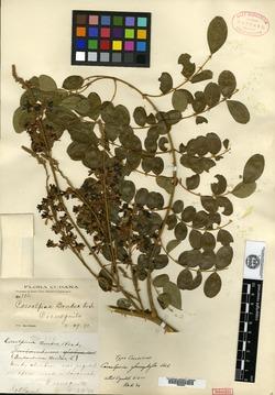 Image of Caesalpinia glaucophylla