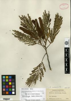 Image of Albizia carbonaria