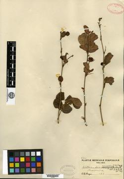 Image of Anneslia leucotricha