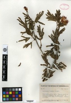 Image of Calliandra rubescens