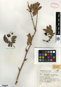 Image of Calliandra hintonii