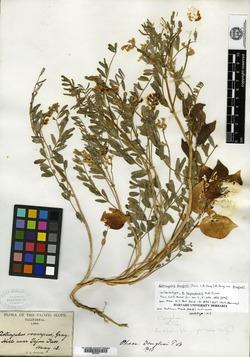 Image of Astragalus tejonensis