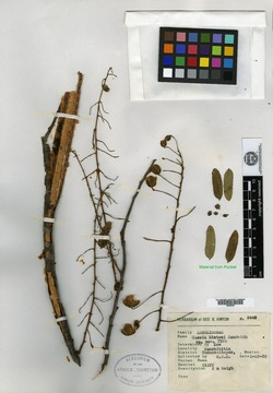 Image of Cassia hintonii