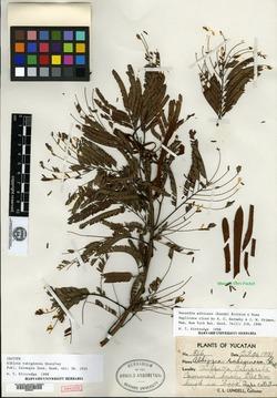 Image of Albizia rubiginosa