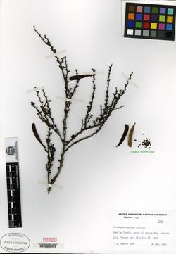 Image of Calliandra enervis