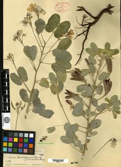 Image of Cassia durangensis