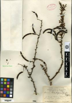 Acacia brandegeana image