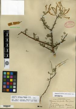 Image of Acacia compacta